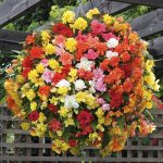 Begonia 'SuperCascade' 20 pack garden ready